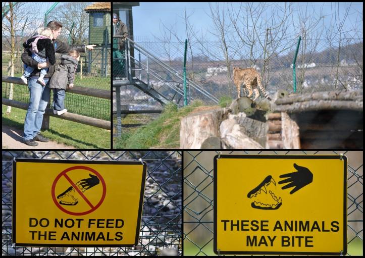 Fota Wildlife Park - Geparden