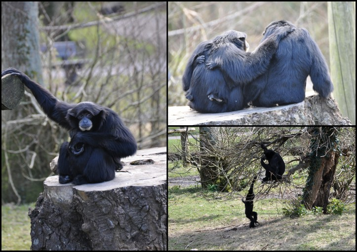 Fota Wildlife Park - Gibbons