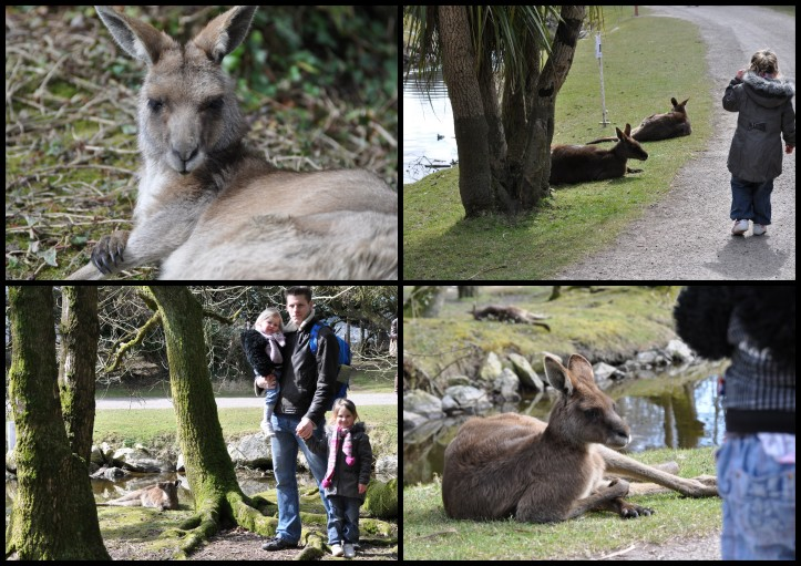 Fota Wildlife Park - Kängurus