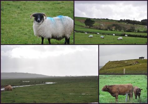 Schafe, Pferde, Kühe in Mayo